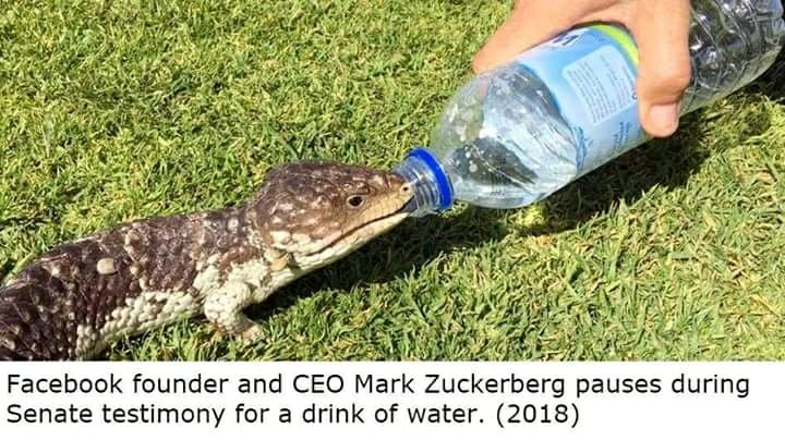 Crocodile Suckerberg